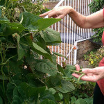 In the Garden: Harvestable Beans