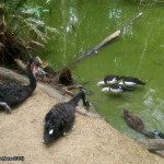Hartley's Crocodile Adventures, June 2015: Birds Drinking