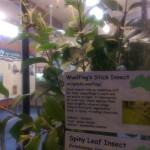 Hartley's Crocodile Adventures, June 2015: Stick Insects