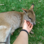 Hartley's Crocodile Adventures, June 2015: Sleepy Wallaby