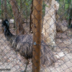 Hartley's Crocodile Adventures, June 2015: Emus